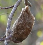 cocoon on branch